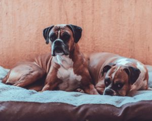 The Essential Care Tips For the Boxer Dog