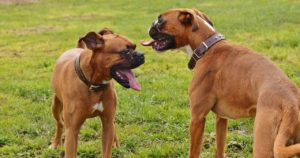 Boxer Dogs Temperaments