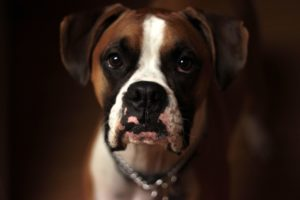 Things to Know About Life Expectancy of Boxer Dogs