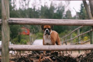 Facts You Need to Know About Boxer Dogs