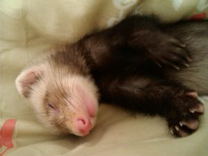 What Ferrets Can And Cannot Eat