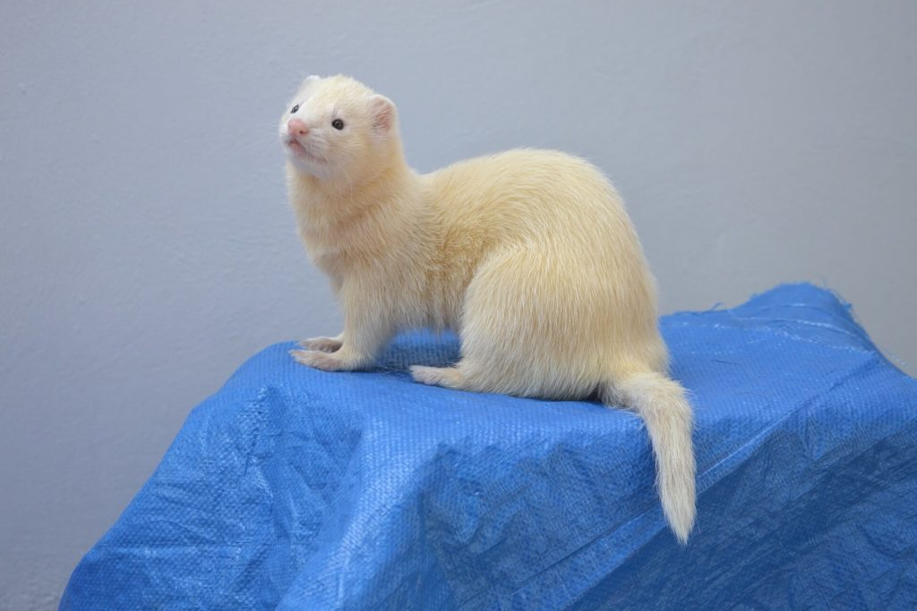 Where do ferrets come from