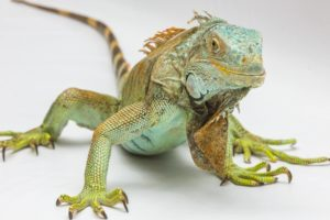 All You Need to Know about Iguana