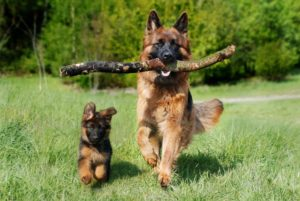 German Shepard Care