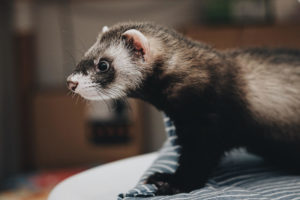 Ferrets Are Good Pets