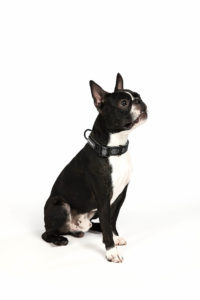 are boston terrier good family dogs